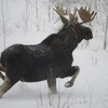 Watch Out For Moose (Video)